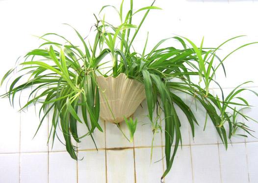 风水植物吊兰的作用_简单知识网